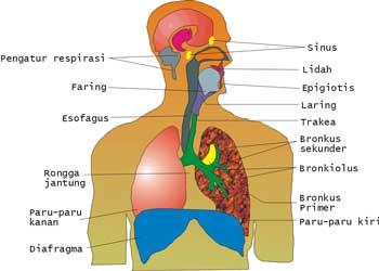 Penyakit Yang Biasa Menyerang Sistem Pernafasan