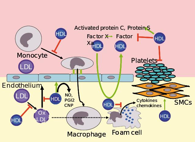 Kolesterol HDL dan LDL